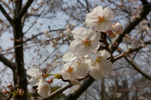 桜@福山城公園
