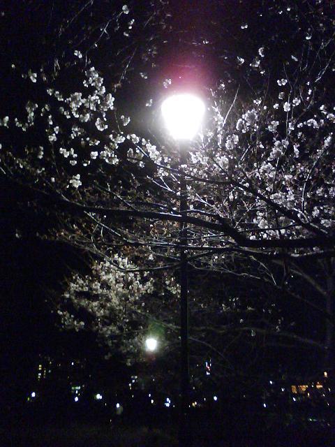 夜の元安川桜並木