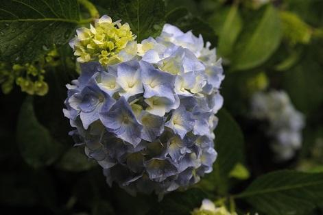 紫陽花は来週が見頃かと