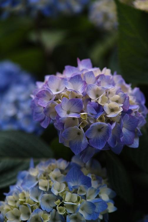 紫陽花を明るい&長いので撃つ。