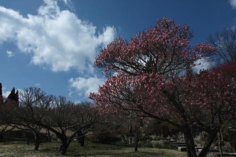 三景園 梅まつり