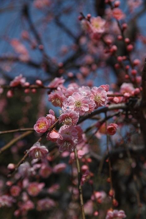 梅は6分咲きでした